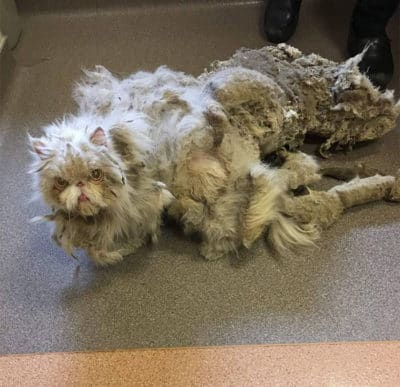 Cat Carrying 5 Pounds Of Matted Fur Undergoes Radical Transformation