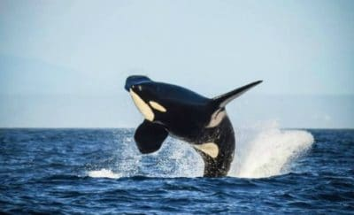 Oldest Living Killer Whale, Granny, Presumed To Be Dead
