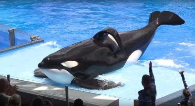 BREAKING: Infamous Killer Whale Tilikum Dies In Captivity
