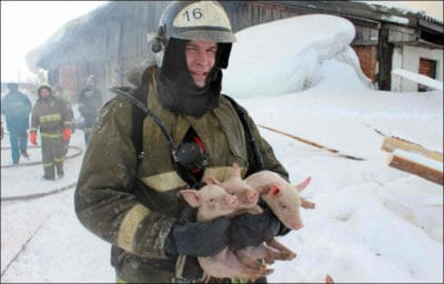 Siberian Firefighters Rescue 150 Piglets From Raging Blaze [Watch]
