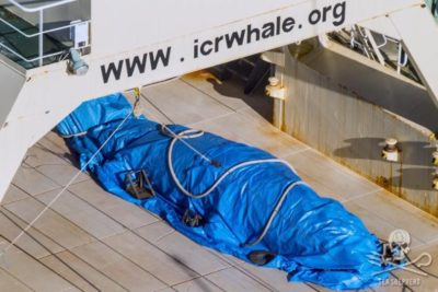 BREAKING: Japanese Vessel Found With Slaughtered Whale On Board