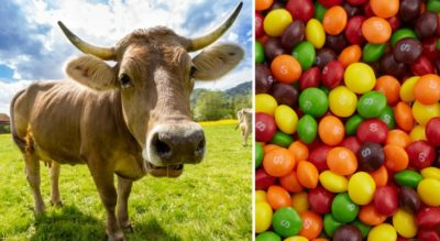 Skittle-Fed Beef? Wisconsin Farmers Caught Secretly Feeding Candy To Beef Cattle