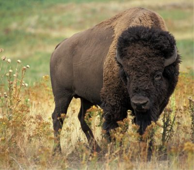 Hundreds Of Bison To Be Killed In Yellowstone National Park