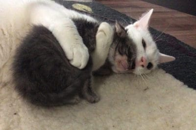 Rescue Cat Cuddles All The Orphaned Kittens His Mom Brings Home