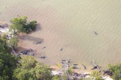 82 False Killer Whales Confirmed Dead After Mysterious Stranding In Florida