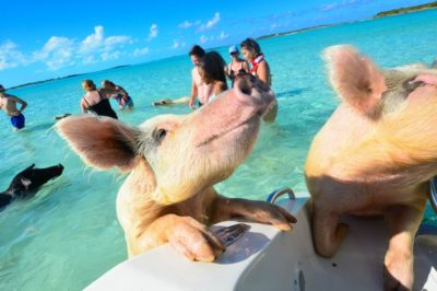 Bahamas Pigs That 'Mysteriously' Died Suspected To Have Been Fed Alcohol By Tourists
