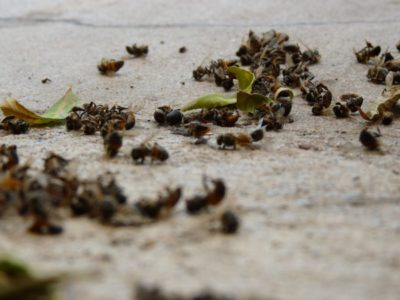 Thousands Of Dead Bees Wash Up On Florida Beach