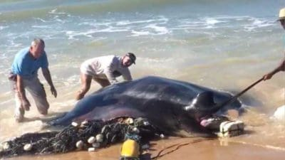 Beach-Goers Return Giant Manta Ray Back To the Ocean [Must Watch]