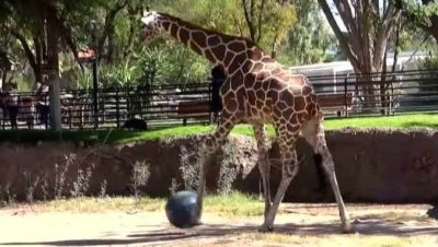Zoo Animals Get A 'Kick' Out Of Playing Soccer In Enclosures [Watch]