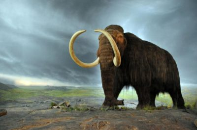 Scientists Reveal Plans To Bring The Wooly Mammoth Back From Extinction