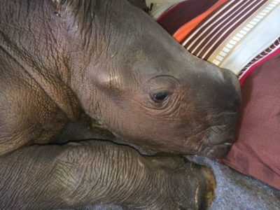 Poachers Killed Two Rhinos At A Wildlife Orphanage After Brutally Attacking Staff