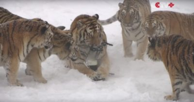 Viral Video Of Tigers Attacking Drone Was Taken From A Slaughter Farm