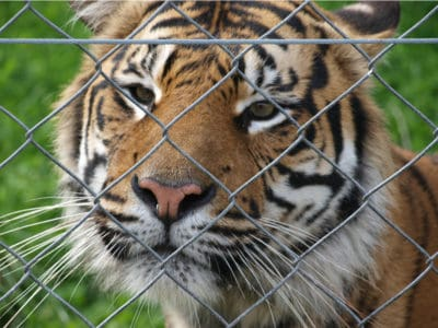 More Tigers Now Live In Peoples' Backyards Than In The Wild [Infographic]