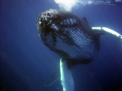 Scientists Cannot Explain Why Humpback Whales Are Displaying This Strange Behavior