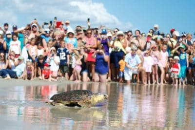 Turtle Found Covered In Barnacles And Leeches Receives Epic Sendoff Once Healed