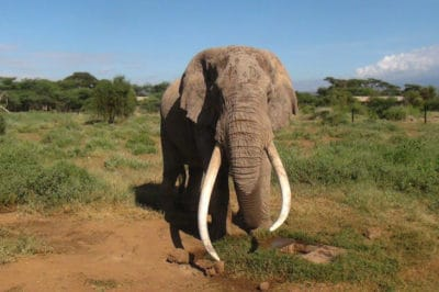One Of The Last Beloved 'Great Tusker' African Elephants Was Just Killed