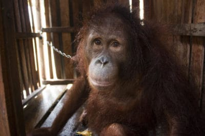 Orangutan Confined In Wooden Crate Gave Up On Life Until This Happened