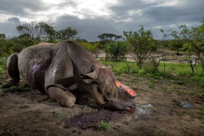 16 Rhinos Killed In Kruger National Park Since Beginning Of March