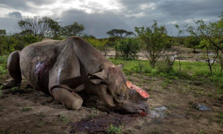 Poaching in Africa, Kruger National Park, 16 rhinos killed,