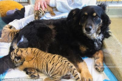 When Mom Abandoned Them, These Tiger Cubs Were Taken In By Adorable Dog Dad