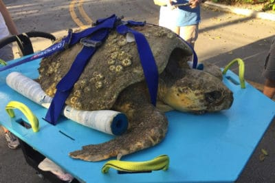 Sick Sea Turtle Washed Up On The Shore To Die, But Beachgoers Came To His Rescue