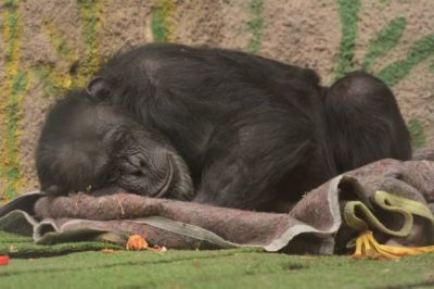 Judge Rules Suffering Chimp To Be Removed From Unhappy Life In Zoo