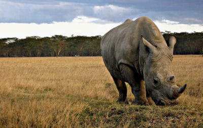 Breaking: South Africa Just Made It Legal To Sell Rhino Horn