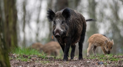 Three ISIS Fighters Mauled To Death By Wild Boars In Iraq