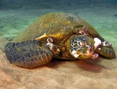 Marine Pollution Is Causing Deadly Tumours On Endangered Sea Turtles