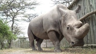 "Last Northern White Rhino Joins Tinder As ""World's Most Eligible Bachelor"""