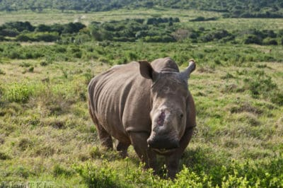 Poaching Survivor Disappears… When Rescuers Find Her, They Can't Believe Their Eyes!