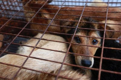 Breaking: Yulin Dealt Huge Blow For Dog Meat Festival, Animal Lovers Rejoice