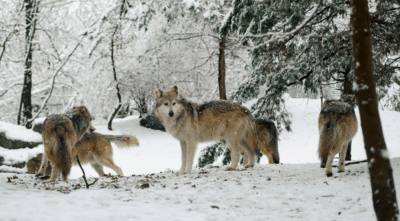 Wolves Return To Denmark After 200 Year Absence