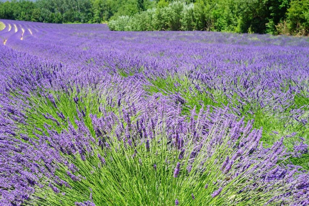https://pixabay.com/en/lavender-field-flowers-purple-flora-1595598/