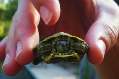 Cruel Teen Microwaves Turtle To Death For Fun, Outraged People Call For Her Arrest