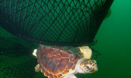 https://commons.wikimedia.org/wiki/Category:Chelonioidea#/media/File:Loggerhead_ted-noaa.jpg