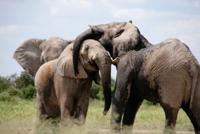 10 More Elephants Killed By Poison In Zimbabwe's Hwange National Park