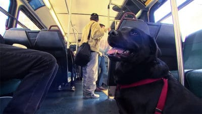 Every Day This Labrador Rides The Bus Alone And Gets Off At A Dog Park