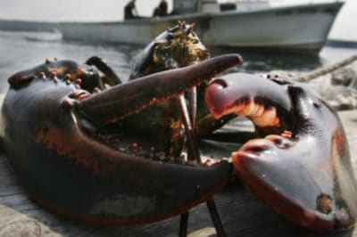 Restaurant Owner Has The Sweetest Ceremony For Lobster In Captivity For 20 Years