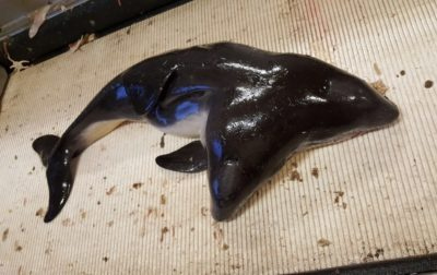 Fishermen Find Rare Two-Headed Dolphin In North Sea. What Happened Next Devastated Scientists…