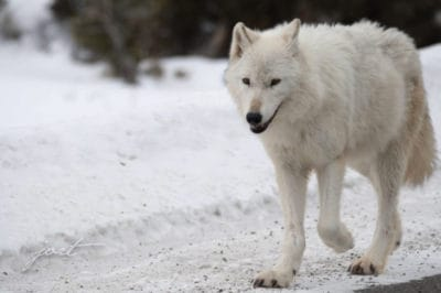 A Famous White Wolf Was Illegally Killed In Yellowstone And Officials Are Offering A Huge Reward