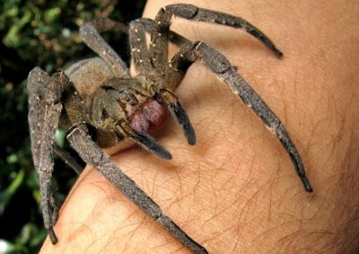 Chilling 1-Minute Video Shows Man Holding World's Most Venomous Spider
