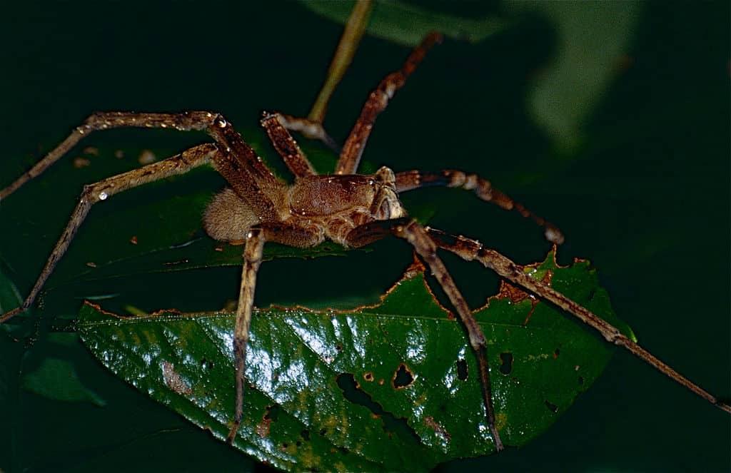 https://commons.wikimedia.org/wiki/File:Wandering_Spider_(Phoneutria_fera)_(10623228224).jpg