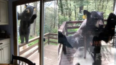 This Wild Bear Did What Anyone Would Do After Smelling Brownies [Video]