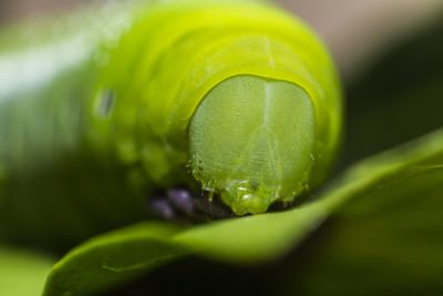 Plants Have Evolved To Make Caterpillars Cannibalize Themselves