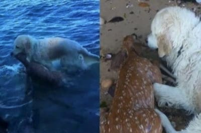 World's Best Dog Jumps Into Harbor To Save Drowning Baby Deer [Watch]