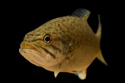 Male Fish Are Turning 'Intersex' Because Of Estrogen-Like Chemicals In The Water