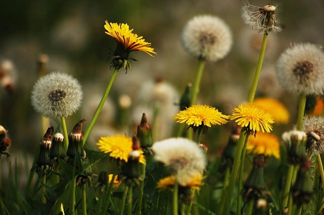 https://pixabay.com/en/meadow-nature-dandelions-yellow-2378460/