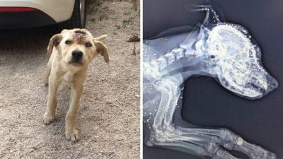 Shot Dozens of Times: Puppy Used as Target Practice Makes Full Recovery, But Needs a Home