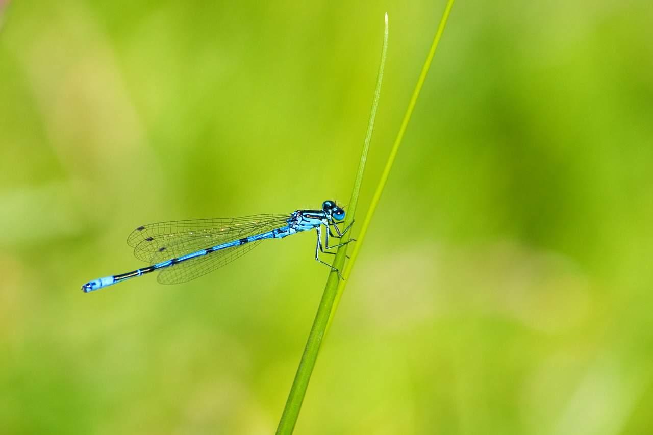 https://pixabay.com/en/azure-damselfly-damselfly-insect-76964/